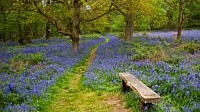 Nabs Wood in spring time with the Blue Bells.